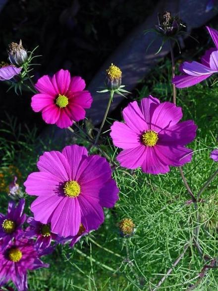 Muhteşem güzelliğiyle 15 kozmoz çiçeği